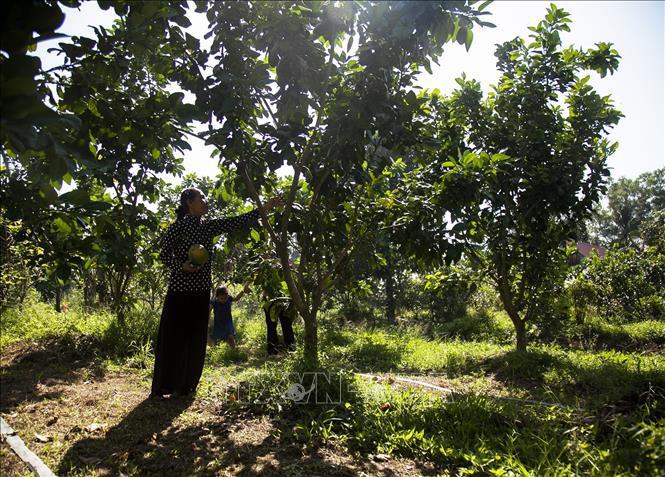 Kiên Giang: Chị nông dân người Khmer bất ngờ trúng lớn nhờ trồng thứ quả xanh vỏ đỏ lòng - Ảnh 2.