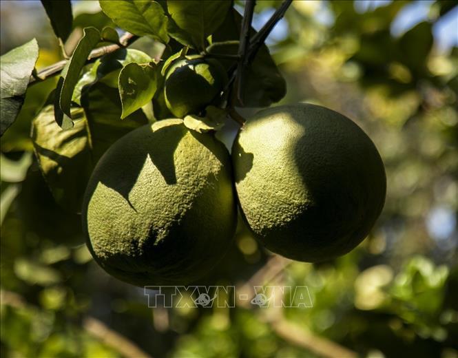Kiên Giang: Chị nông dân người Khmer bất ngờ trúng lớn nhờ trồng thứ quả xanh vỏ đỏ lòng - Ảnh 3.