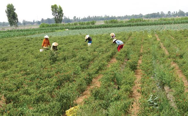Nông dân huyện Thanh Bình (Đồng Tháp) thu hoạch ớt.