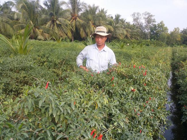 Nông dân ở xã Bình Ninh, huyện Chợ Gạo, tỉnh Tiền Giang thu hoạch ớt.