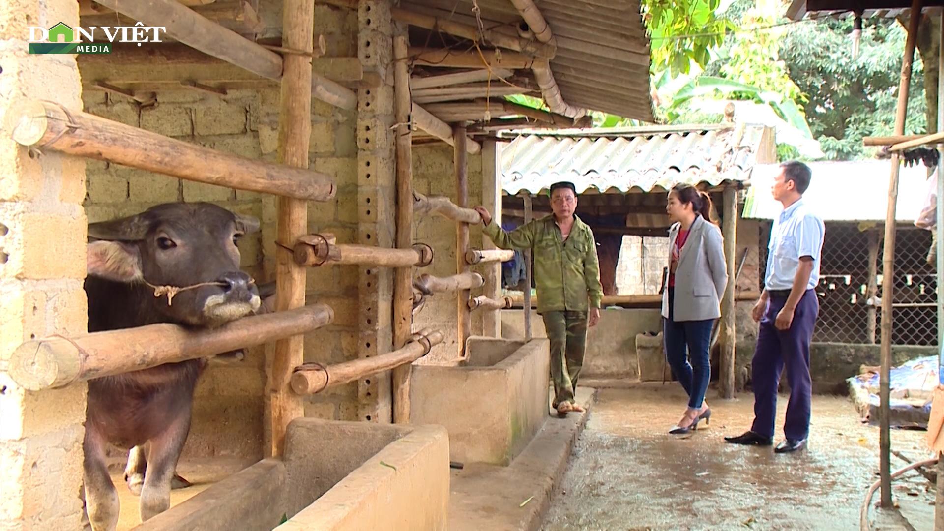 Xã vùng cao nuôi 3.000 con trâu bò, thu về trên 35 tỷ đồng mỗi năm cho người nông dân - Ảnh 3.