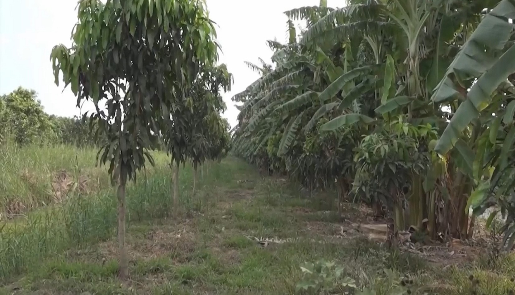 Vùng đất nhiễm phèn nặng vươn lên thành thủ phủ cây ăn trái - Ảnh 2.