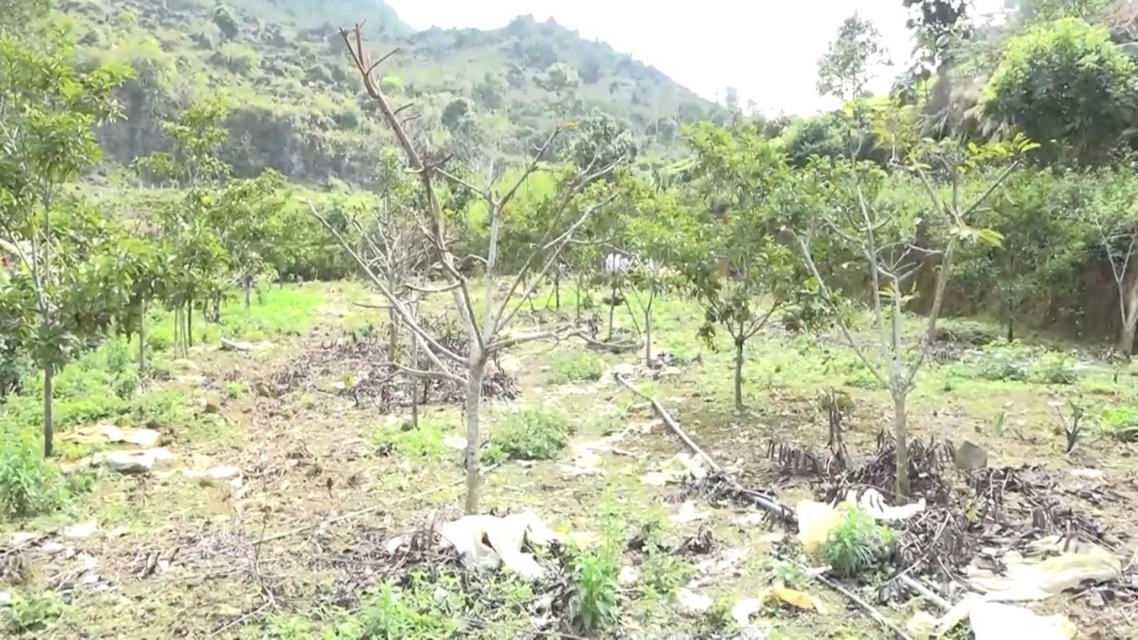 Yên Bái: Triển vọng từ mô hình trồng na ở huyện Văn Chấn - Ảnh 4.
