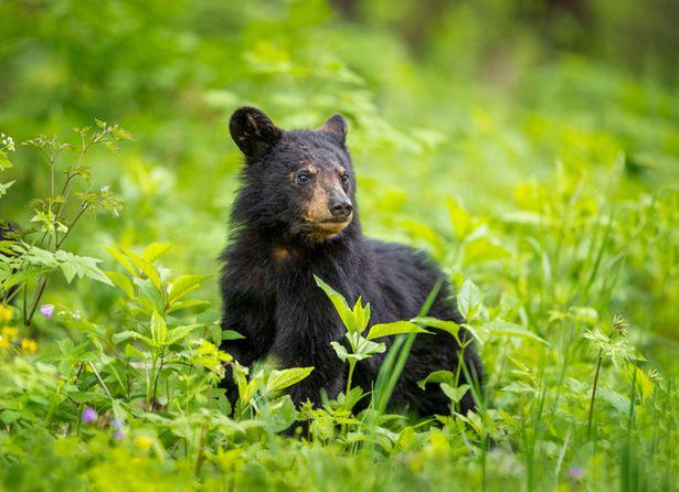 """Căn bệnh kỳ lạ biến những chú gấu Mỹ thành """"thây ma"""" - Ảnh 2."""