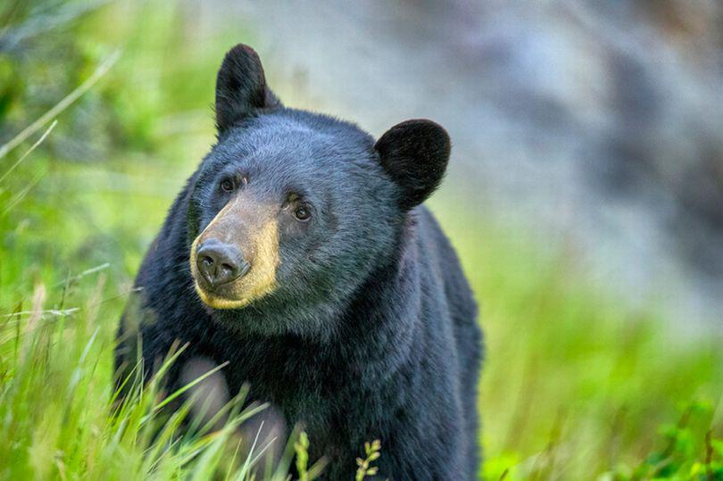 """Căn bệnh kỳ lạ biến những chú gấu Mỹ thành """"thây ma"""" - Ảnh 1."""