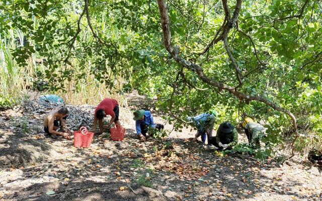 Người dân thu hoạch điều ở Bình Phước