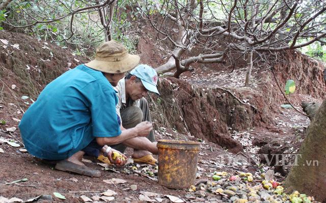Rất nhiều diện tích điều ở Bình Phước trồng trên vùng đất dốc, thuộc dạng ít thích nghi và không thích nghi với cây điều