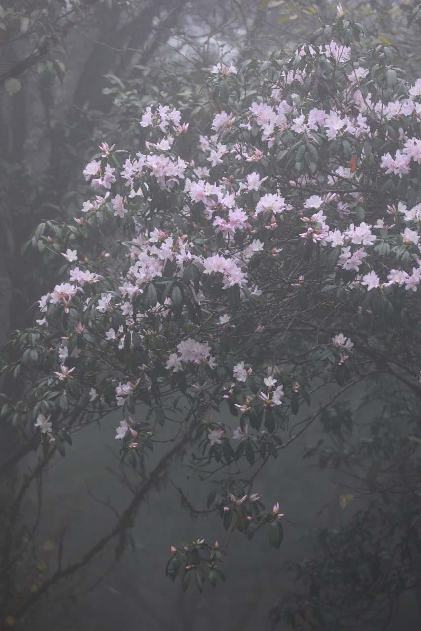 Cao Bằng: Mê mẩn sắc hoa Đỗ quyên cổ thụ rực rỡ trên đỉnh Phia Oắc - Ảnh 9.