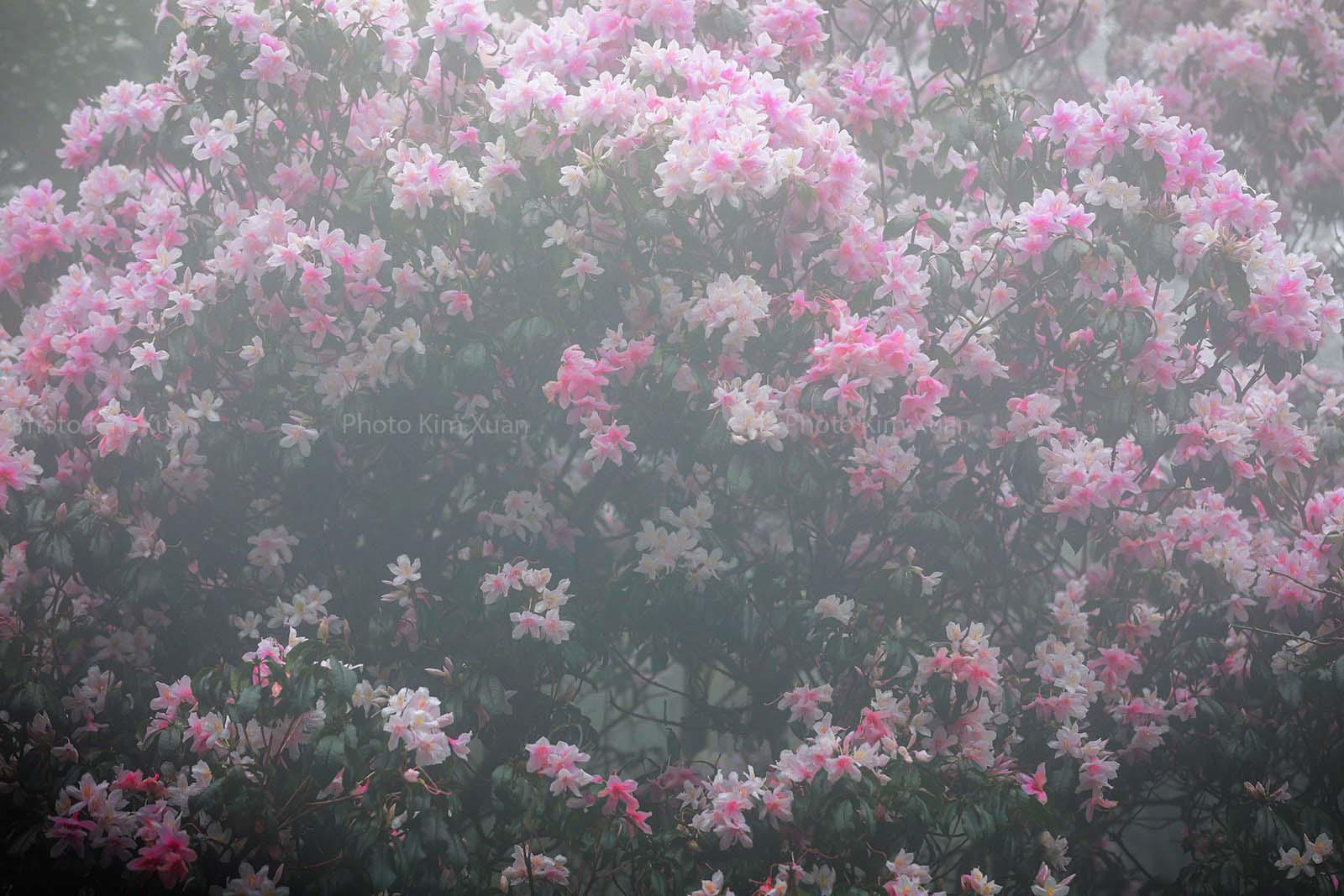 Cao Bằng: Mê mẩn sắc hoa Đỗ quyên cổ thụ rực rỡ trên đỉnh Phia Oắc - Ảnh 8.