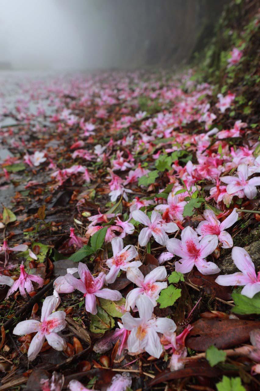 Cao Bằng: Mê mẩn sắc hoa Đỗ quyên cổ thụ rực rỡ trên đỉnh Phia Oắc - Ảnh 10.