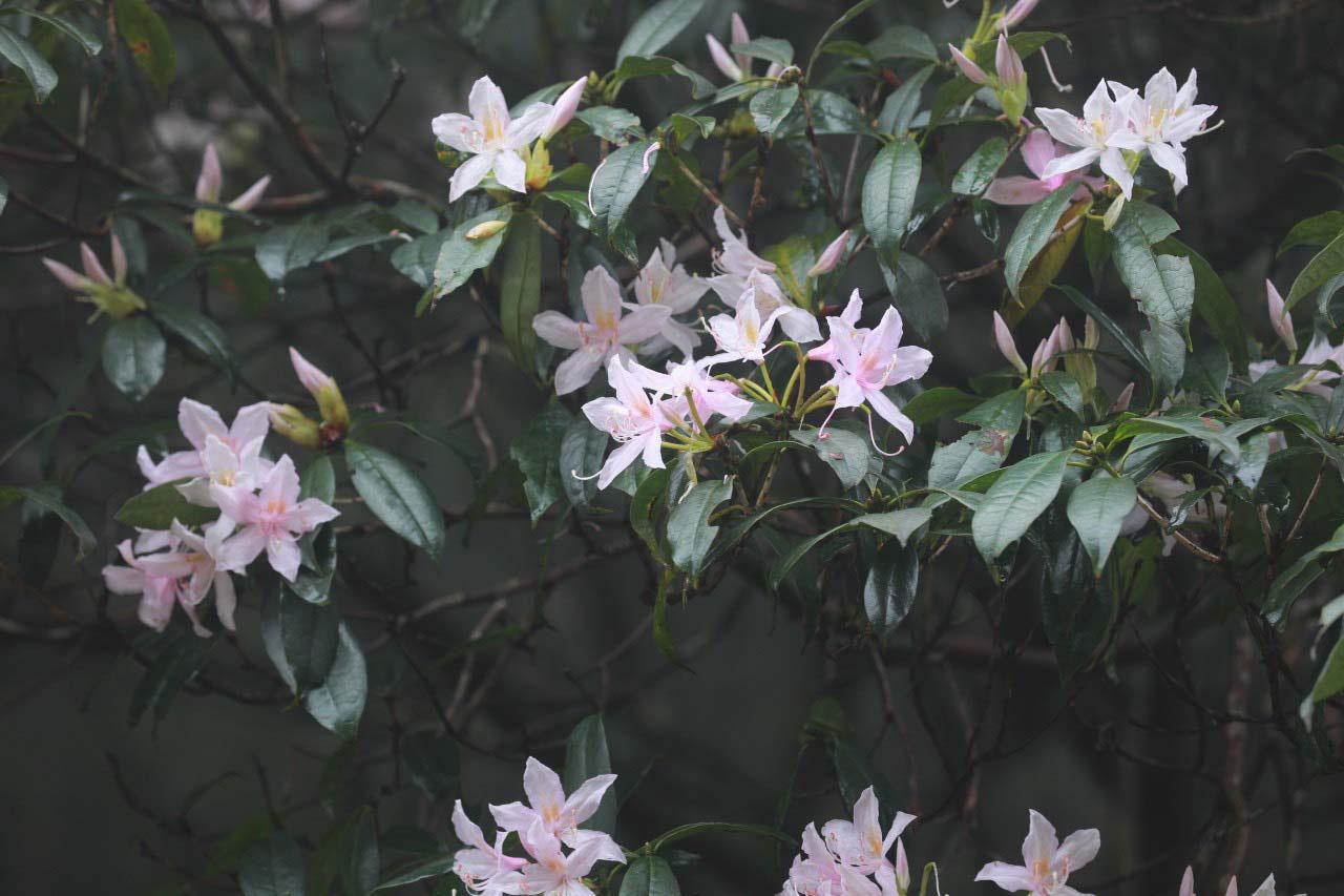 Cao Bằng: Mê mẩn sắc hoa Đỗ quyên cổ thụ rực rỡ trên đỉnh Phia Oắc - Ảnh 11.