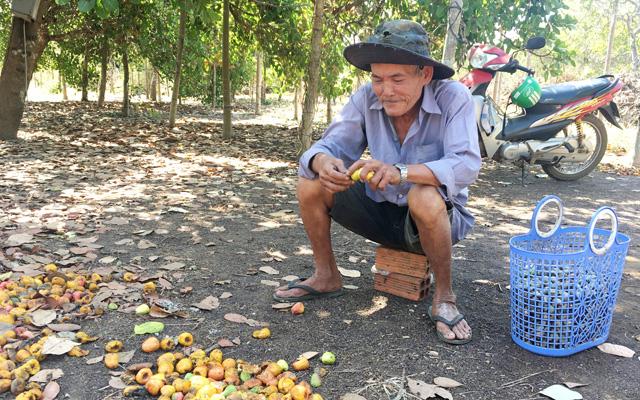 Nông dân huyện Châu Đức, Bà Rịa-Vũng Tàu đang thu hoạch điều. Ảnh: IT
