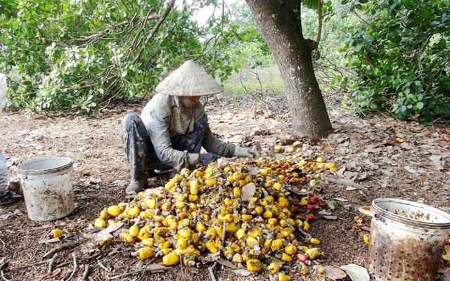Nông dân thu hoạch điều ở Đồng Nai