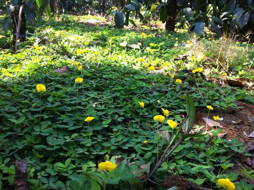 Giá tiêu hôm nay 10/4: Có thể lên 100.000 đồng/kg được không, vì sao nên để cỏ um tùm trong vườn tiêu? - Ảnh 4.