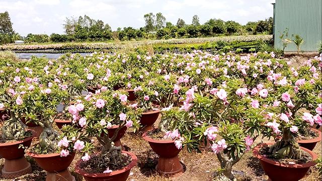 """Đồng Tháp: """"Phát sốt"""" với cây những cây sứ trổ bông màu hồng ở TP Sa Đéc, cây to giá bán tiền triệu - Ảnh 1."""