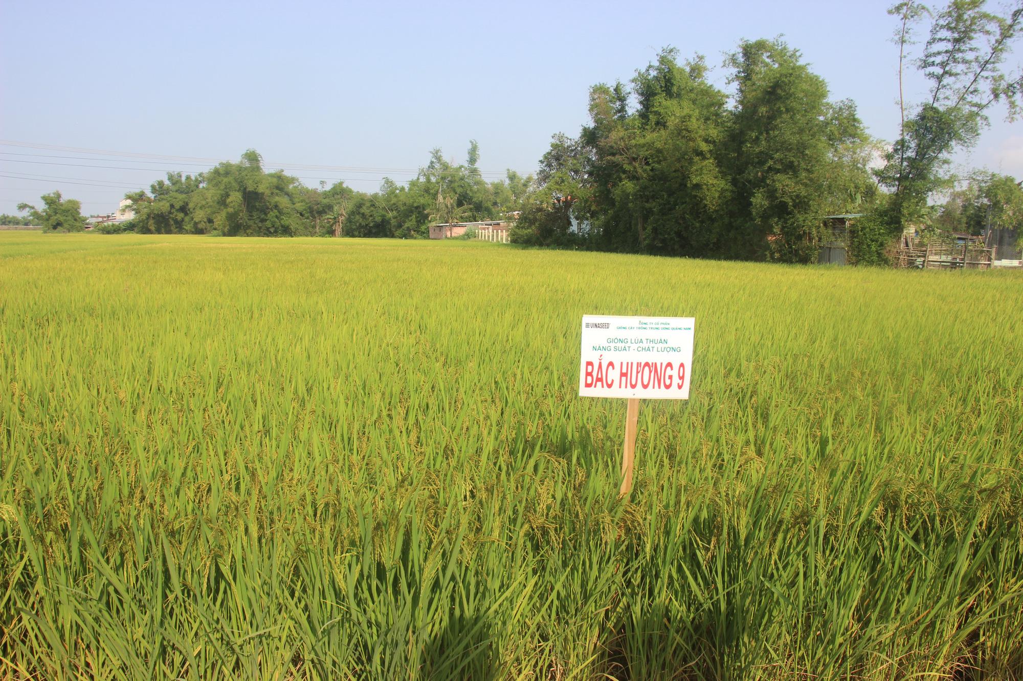 Ngỡ ngàng loạt giống lúa siêu năng suất, chống chịu sâu bệnh trên cánh đồng Bình Định, có giống đạt đến 90 tạ/ha  - Ảnh 1.