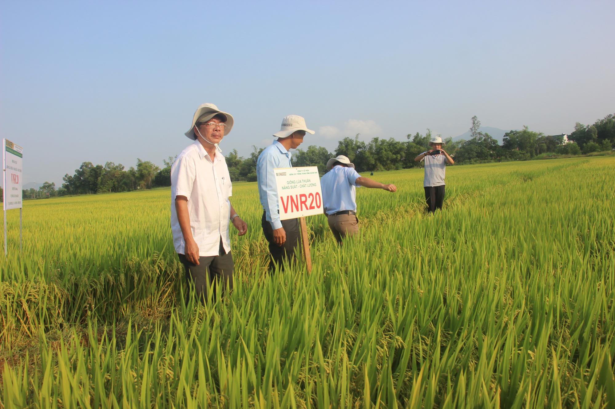 Ngỡ ngàng loạt giống lúa siêu năng suất, chống chịu sâu bệnh trên cánh đồng Bình Định, có giống đạt đến 90 tạ/ha  - Ảnh 2.