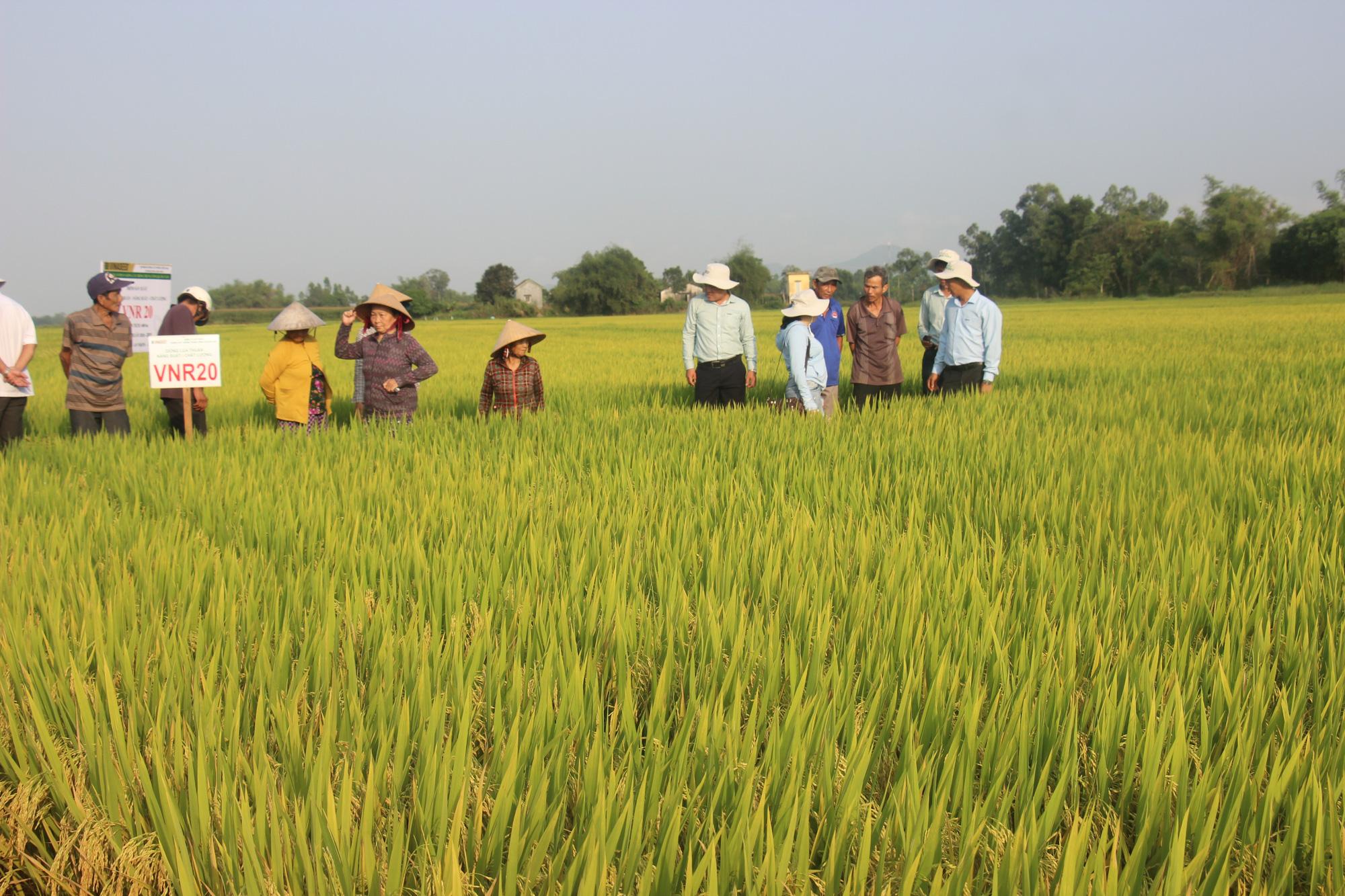Ngỡ ngàng loạt giống lúa siêu năng suất, chống chịu sâu bệnh trên cánh đồng Bình Định, có giống đạt đến 90 tạ/ha  - Ảnh 4.