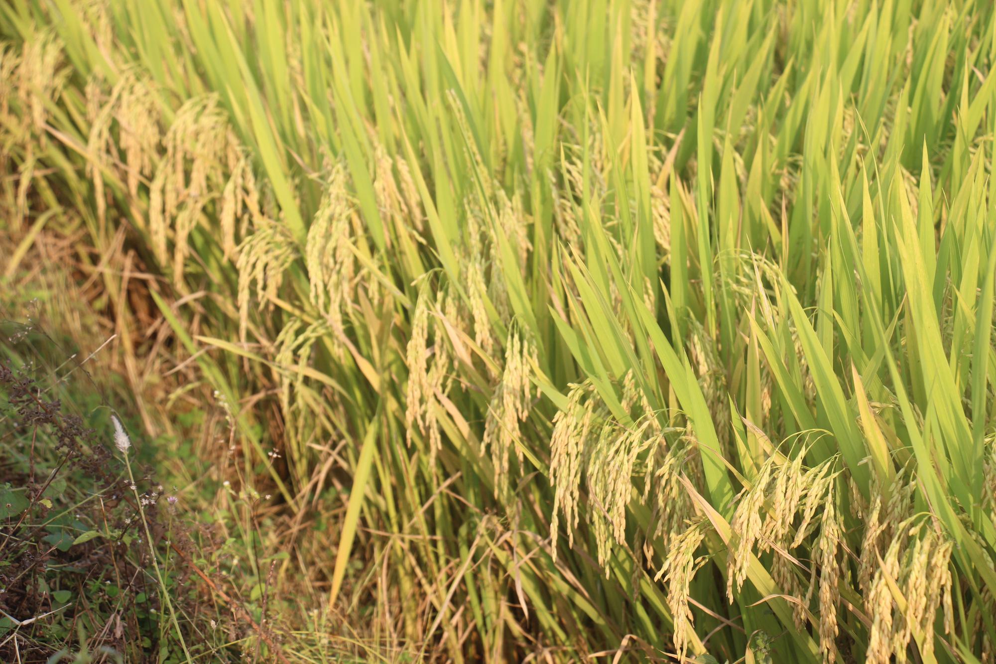 Ngỡ ngàng loạt giống lúa siêu năng suất, chống chịu sâu bệnh trên cánh đồng Bình Định, có giống đạt đến 90 tạ/ha  - Ảnh 3.