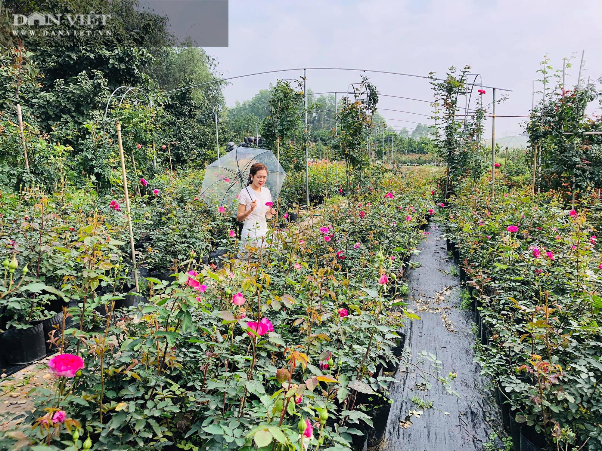 Phú Thọ: Học hết cấp 3, 9X về trồng hoa hồng không những có vườn đẹp còn thu 50 triệu đồng/tháng - Ảnh 4.