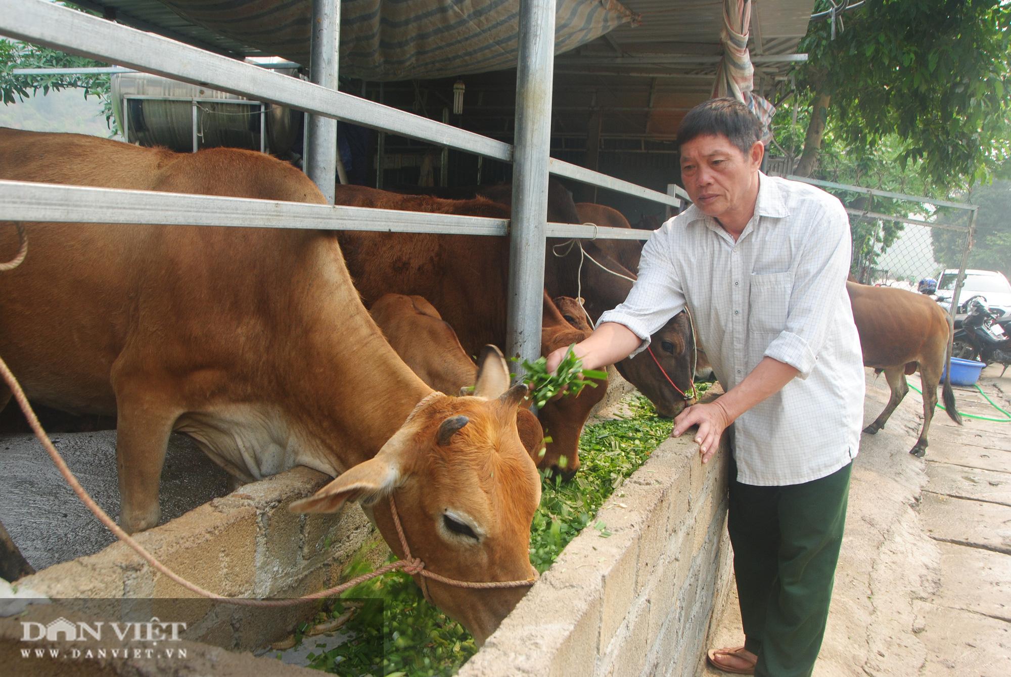 Biến bò gầy thành bò béo, cựu chiến binh kiếm hơn nửa tỷ - Ảnh 1.