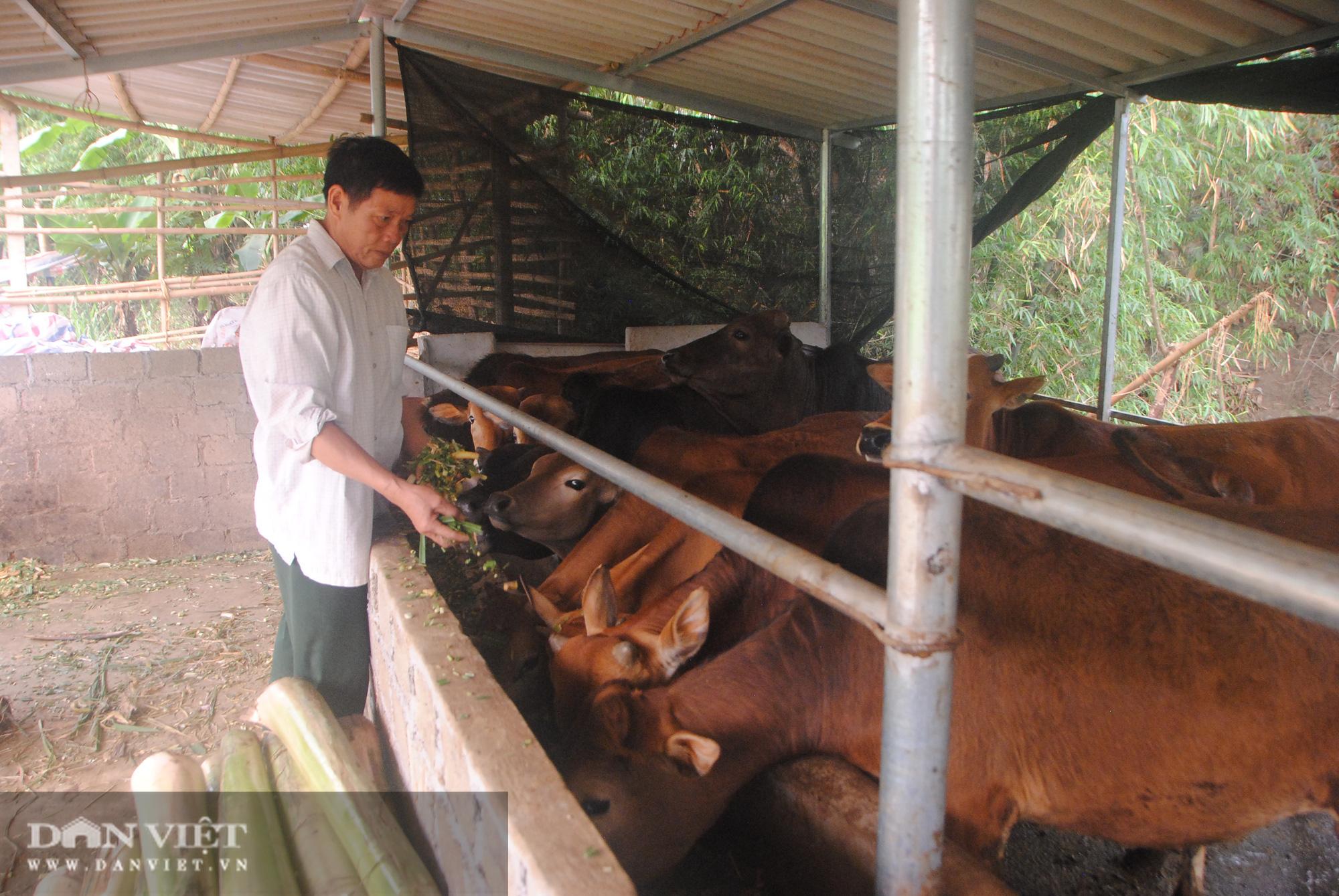 Biến bò gầy thành bò béo, cựu chiến binh kiếm hơn nửa tỷ - Ảnh 3.