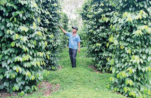 Giá tiêu hôm nay 10/4: Có thể lên 100.000 đồng/kg được không, vì sao nên để cỏ um tùm trong vườn tiêu? - Ảnh 3.
