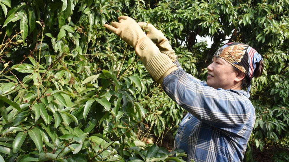Bắc Giang: Vải thiều vừa bằng đầu đũa, 167 thương nhân Trung Quốc đã đăng ký đến thu mua - Ảnh 3.