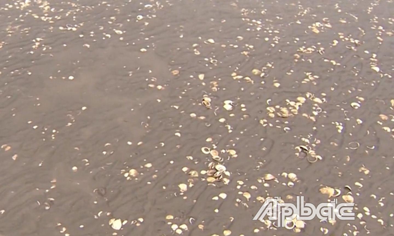 Tiền Giang: Ốc hương ăn 10 tấn nghêu ở biển Tân Thành trong tháng 2 và tháng 3 vừa qua, diệt ốc khó hay dễ?