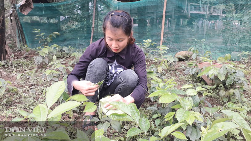 Yên Bái: Lạ trồng thứ cây cứ động vào là thơm nức mũi, bán cả lá cả cây nhiều hàng ăn thi nhau hỏi mua - Ảnh 5.