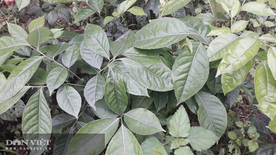 Yên Bái: Lạ trồng thứ cây cứ động vào là thơm nức mũi, bán cả lá cả cây nhiều hàng ăn thi nhau hỏi mua - Ảnh 3.