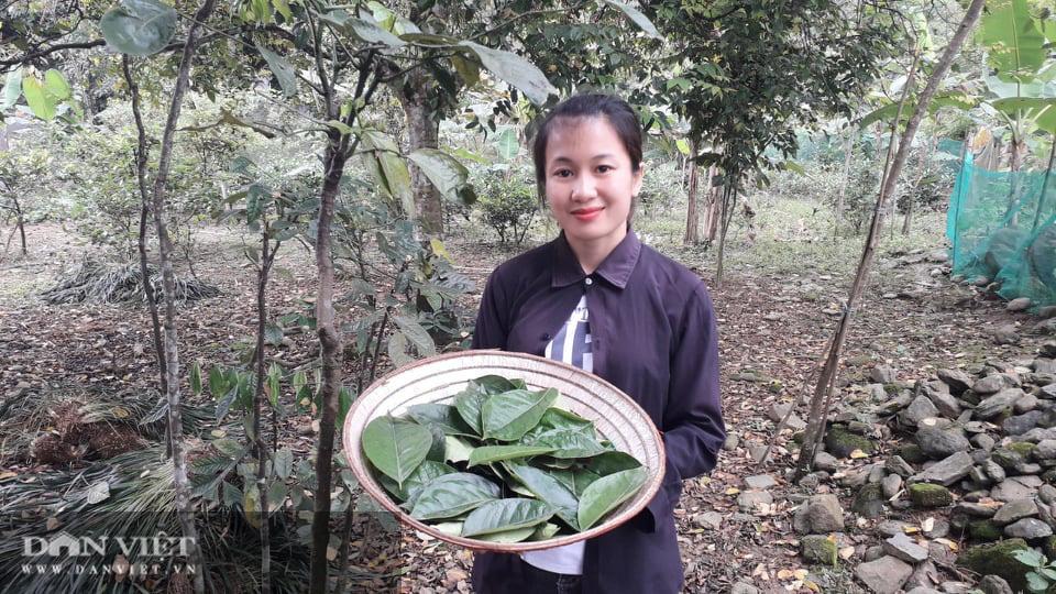 Yên Bái: Lạ trồng thứ cây cứ động vào là thơm nức mũi, bán cả lá cả cây nhiều hàng ăn thi nhau hỏi mua - Ảnh 6.