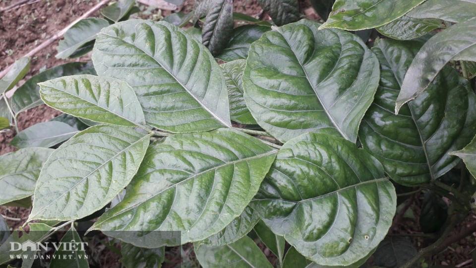 Yên Bái: Lạ trồng thứ cây cứ động vào là thơm nức mũi, bán cả lá cả cây nhiều hàng ăn thi nhau hỏi mua - Ảnh 2.