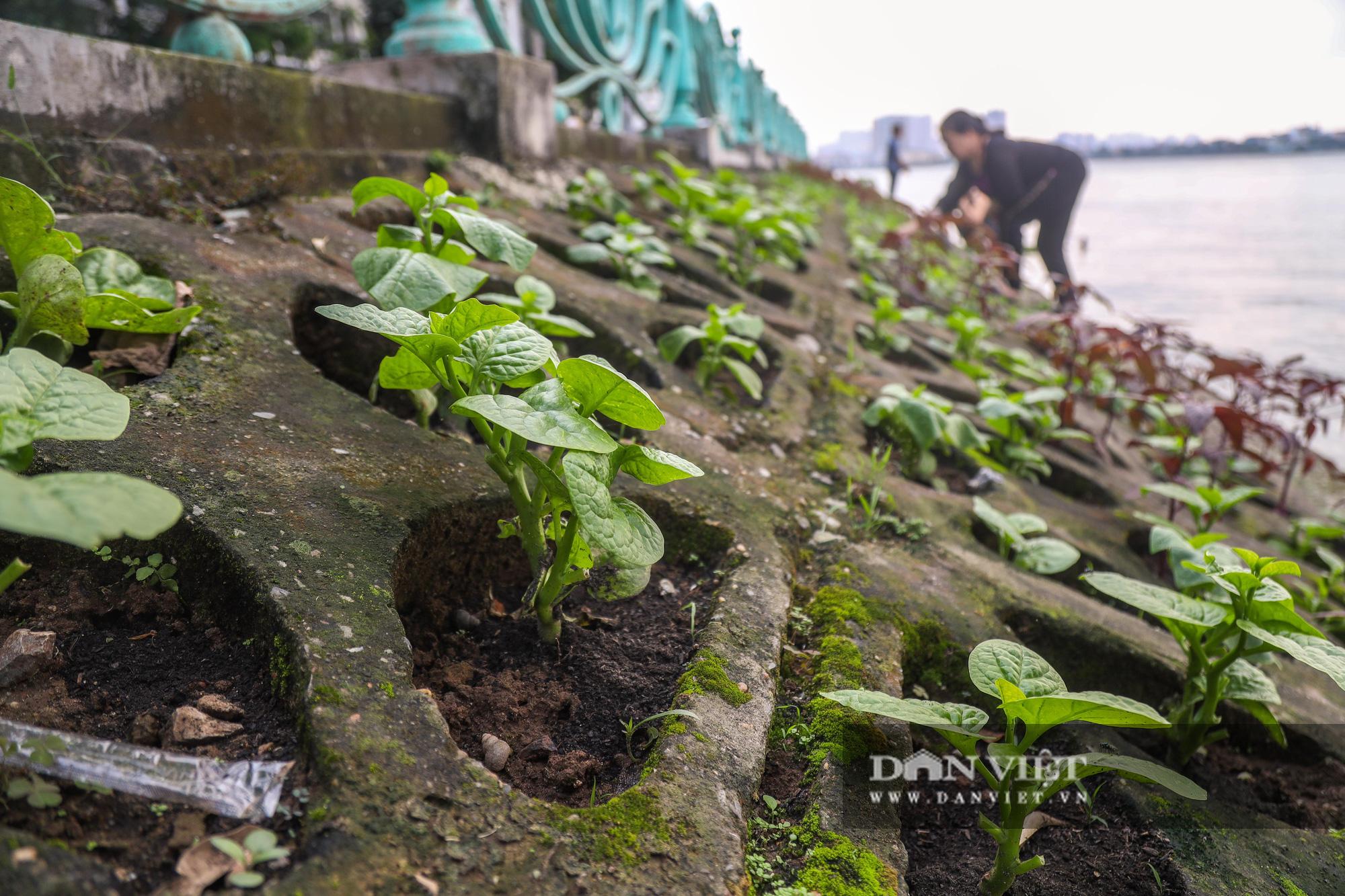 Độc đáo mô hình trồng rau hốc đá ven hồ ở Hà Nội - Ảnh 5.