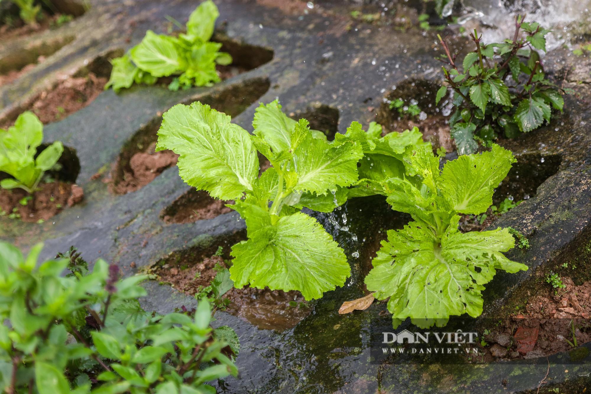 Độc đáo mô hình trồng rau hốc đá ven hồ ở Hà Nội - Ảnh 9.