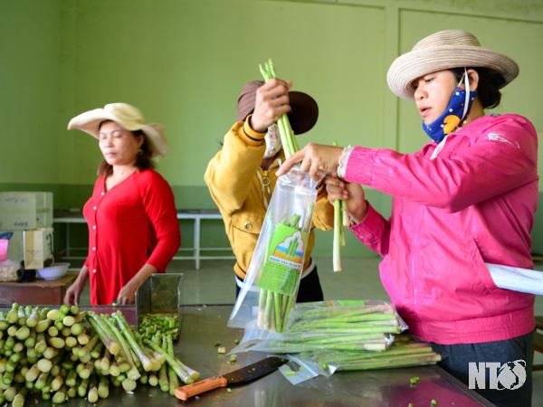 """Ninh Thuận: Vùng đất này toàn cát trắng, dân nghèo trồng """"rau vua"""" mà nhà nào cũng nhanh khá giả"""