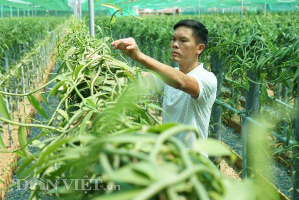 2 loại gia vị đắt bậc nhất thế giới: một thơm nức mũi, một cay không tưởng trồng thành công ở Việt Nam - Ảnh 6.