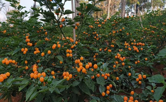 2 loại gia vị đắt bậc nhất thế giới: một thơm nức mũi, một cay không tưởng trồng thành công ở Việt Nam - Ảnh 8.
