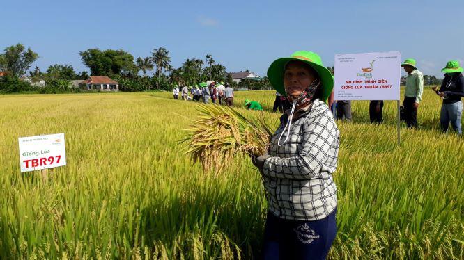 Quảng Ngãi: 2 giống lúa mới nào khẳng định được hiệu quả vượt trội trên đồng ruộng? - Ảnh 3.