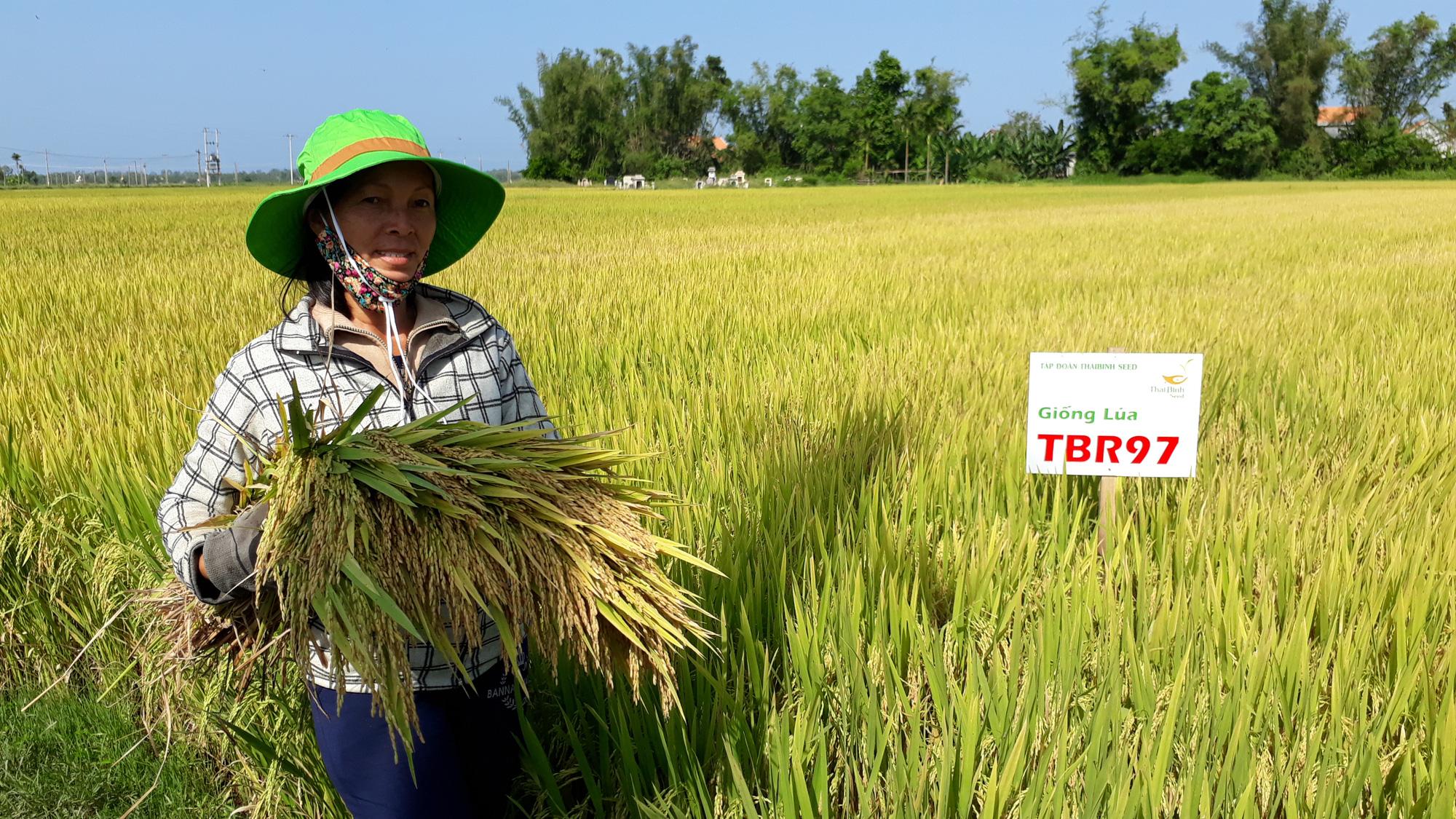2 giống lúa mới khẳng định hiệu quả vượt trội trên đồng xứ Quảng Ngãi - Ảnh 1.