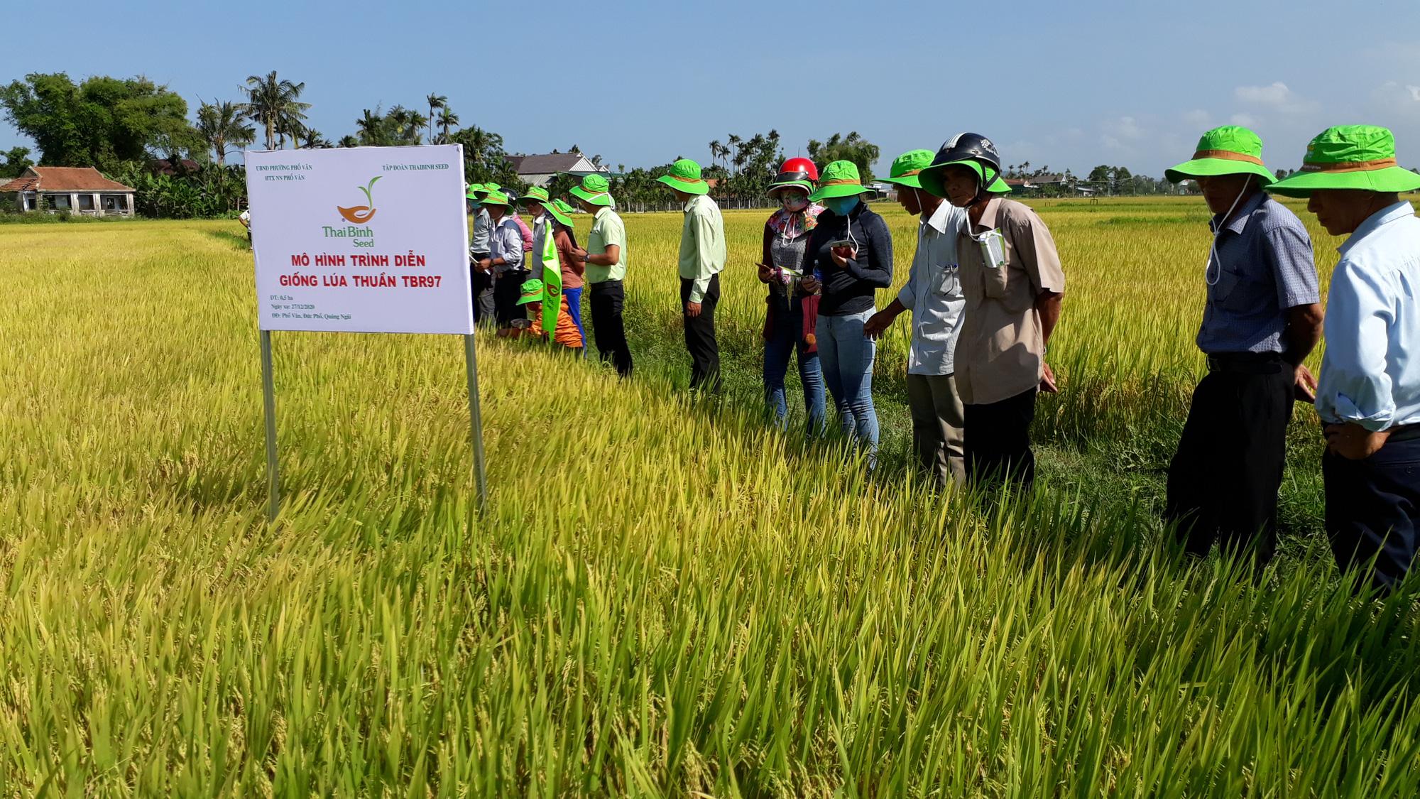 2 giống lúa mới khẳng định hiệu quả vượt trội trên đồng xứ Quảng Ngãi - Ảnh 2.