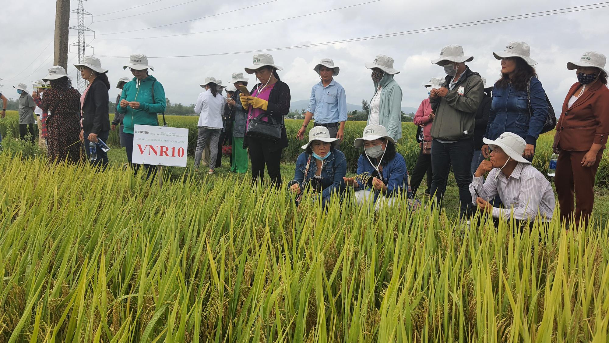 Quảng Nam: Bất ngờ với hai giống lúa mới năng suất cao, chất lượng tốt và chống chịu thời tiết khắc nghiệt - Ảnh 1.