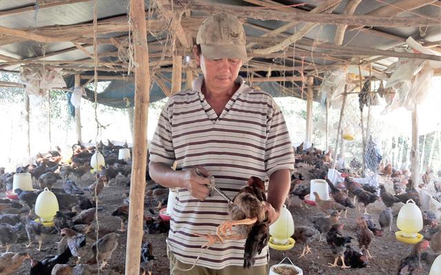 Người chăn nuôi gà thường xuyên vệ sinh chuồng trại và tiêm phòng vaccine.  Ảnh: Phước Bình