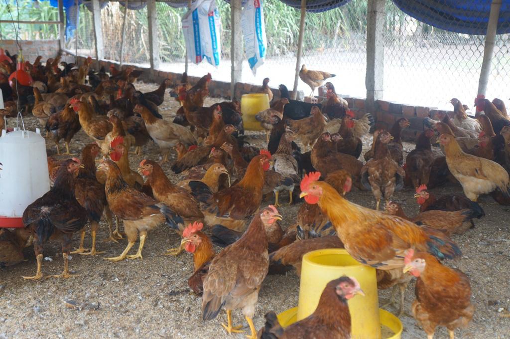 Quảng Nam: Những địa phương nào bị nghiêm cấm chăn nuôi trong nội thành? - Ảnh 4.
