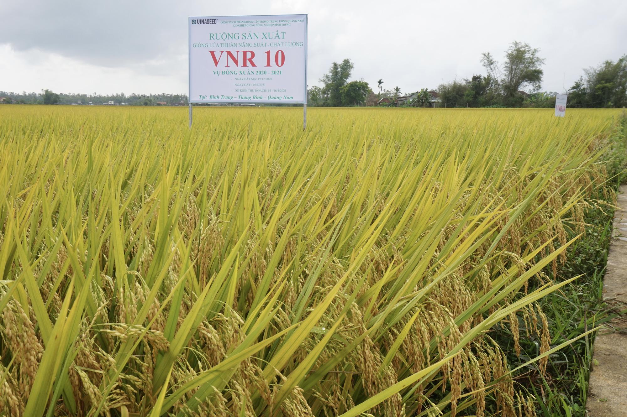 Quảng Nam: Bất ngờ với hai giống lúa mới năng suất cao, chất lượng tốt và chống chịu thời tiết khắc nghiệt - Ảnh 2.