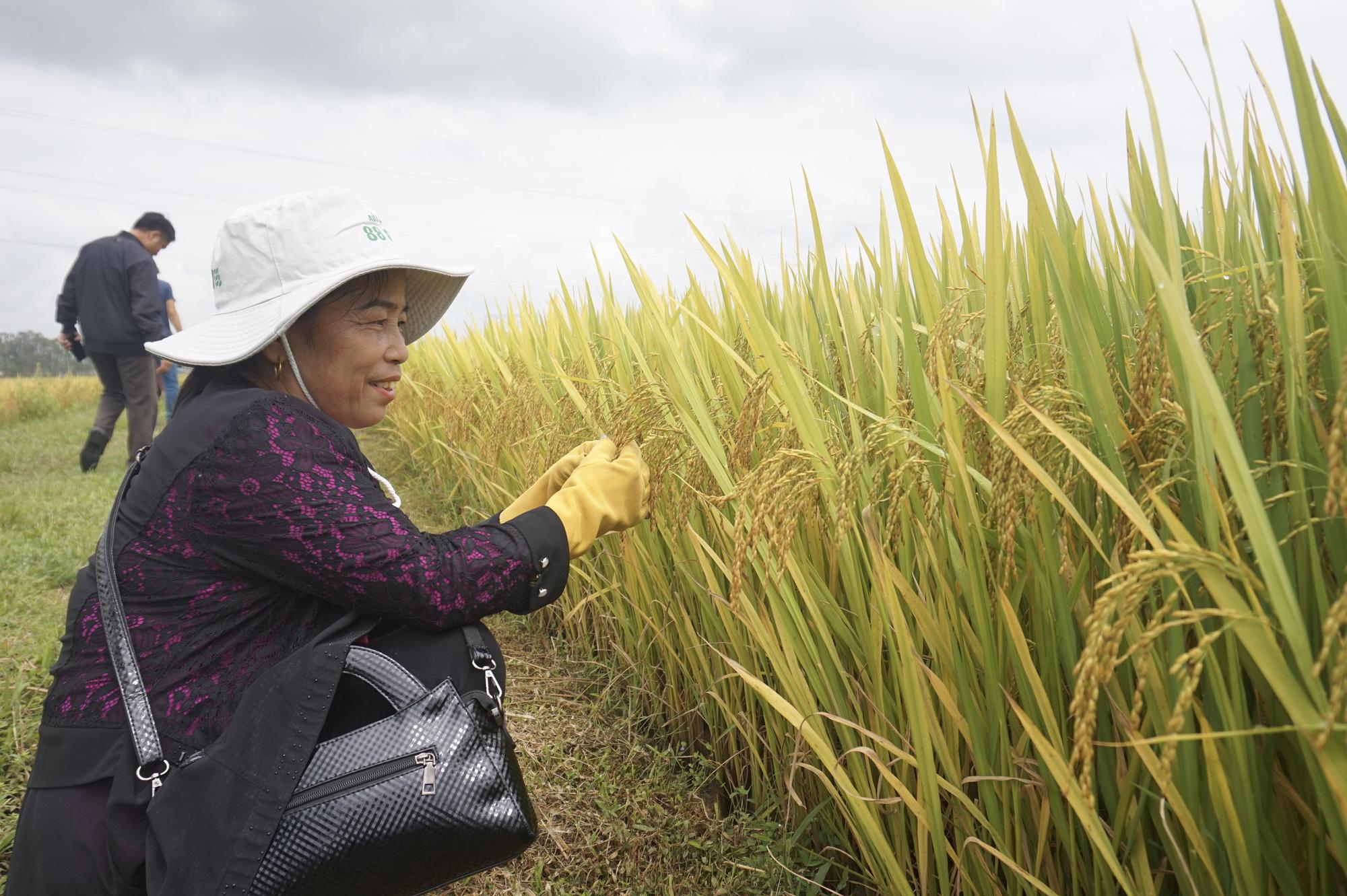 Quảng Nam: Bất ngờ với hai giống lúa mới năng suất cao, chất lượng tốt và chống chịu thời tiết khắc nghiệt - Ảnh 6.