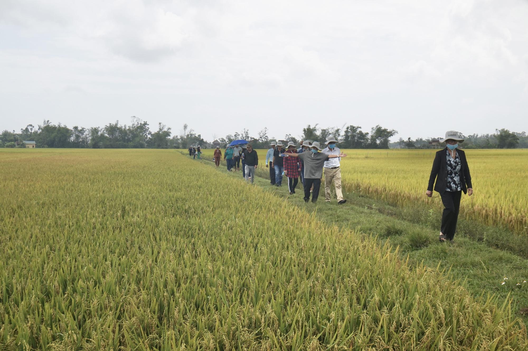 Quảng Nam: Bất ngờ với hai giống lúa mới năng suất cao, chất lượng tốt và chống chịu thời tiết khắc nghiệt - Ảnh 7.