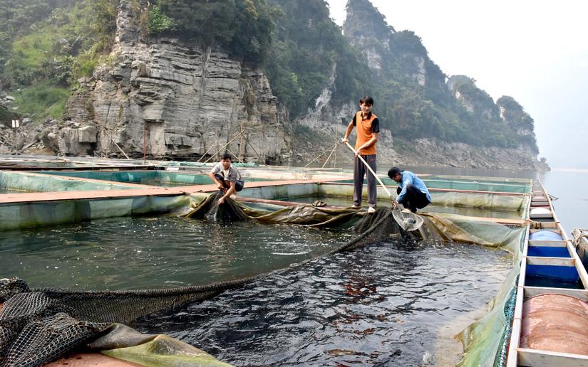 Tuyên Quang: Vùng đất này dân đổi đời nhờ nuôi cá đặc sản trên hồ mênh mông, có nhà thu tiền tỷ - Ảnh 1.