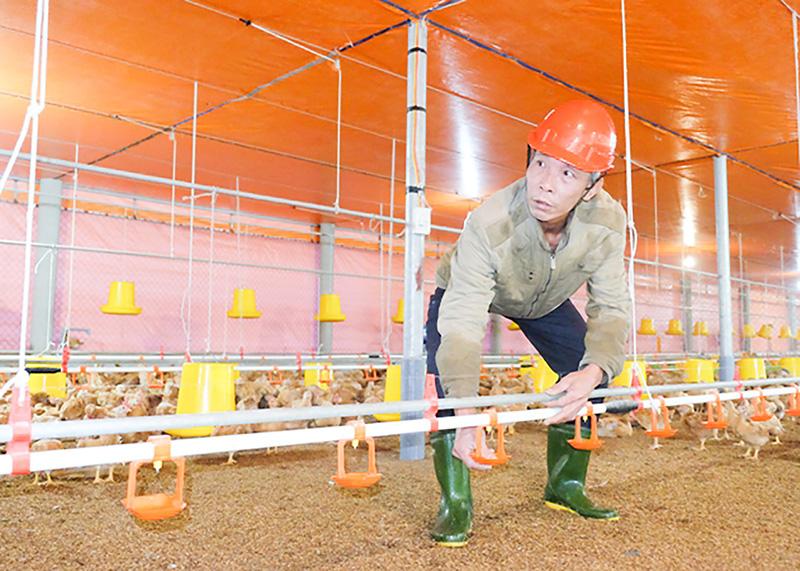 Quảng Trị: Nuôi gà trong trại lạnh công nghệ cao, vì sao ông nông dân này chỉ lo nuôi, không lo bán? - Ảnh 1.
