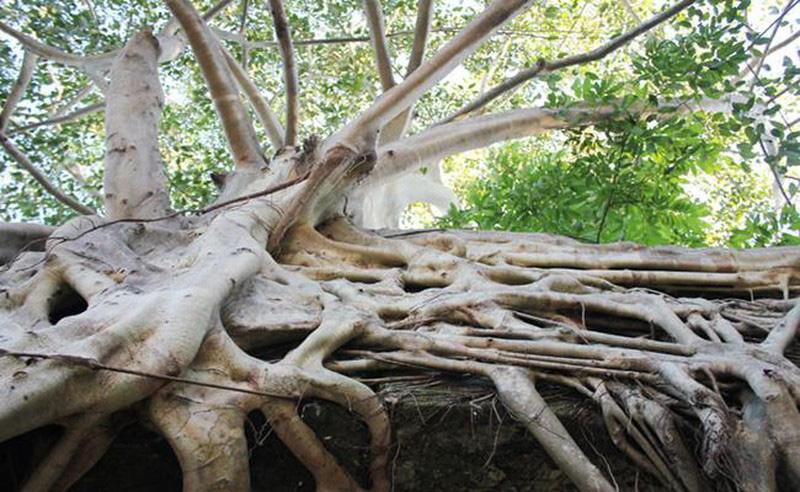"""""""Quái cây"""" nhìn như củi khô mà giá ngang cả gia tài, nhà nào sắm được đều """"không phải dạng..."""